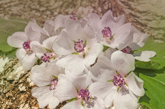 Althaea officinalis marshmallow. Althaea officinalis flowers and leaves. A white Marshmallow flower stock image