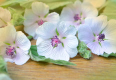 Althaea officinalis. Marshmallow (Althaea officinalis). Marsh Mallow royalty free stock images