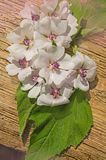 Althaea officinalis plant. Blossom of marshmallow. Marsh mallow Althaea officinalis stock images