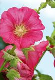 Althaea rosea Royalty Free Stock Image