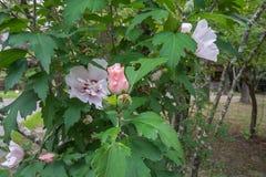 Althea Flower Royaltyfria Bilder