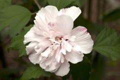 Althea kwiat Zdjęcia Stock