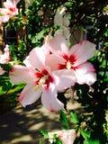 Althea kwiaty Zdjęcie Stock