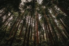 Alti alberi della foresta della sequoia fotografia stock libera da diritti