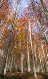 Alti alberi di faggio Immagini Stock
