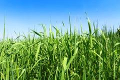 Alti erba verde e cielo blu Immagine Stock