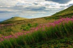 Alti fiori selvaggi alla cima della montagna Fotografia Stock