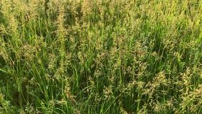 Alti ondeggiamenti dell'erba verde nel vento su un primo piano di giorno soleggiato stock footage