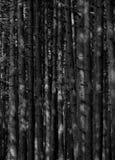Alti pini Fotografia Stock
