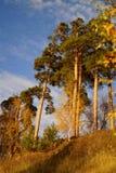 Alti pini Fotografia Stock Libera da Diritti