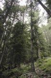 Alti pini sul percorso Immagini Stock Libere da Diritti