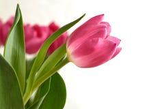 Alti tulipani rosa chiave Fotografia Stock