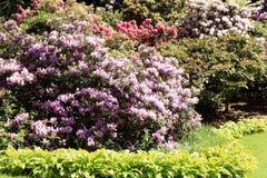 Altijdgroen, allen in gebloeide rododendrons royalty-vrije stock afbeeldingen