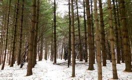 Altijdgroen Forest In The Winter stock foto's