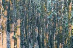 Altijdgroen tropisch die regenwoud waar bomen met mos in Binsar-district Pithoragarh Uttrakhand worden behandeld Royalty-vrije Stock Foto's