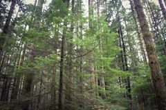 Altijdgroene bomen Royalty-vrije Stock Afbeelding
