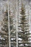 Altijdgroene bomen in bos. Royalty-vrije Stock Afbeelding