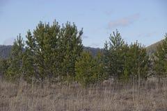 Altijdgroene bomen op de heuvelige Bank royalty-vrije stock foto's