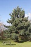 Altijdgroene boom in een park Royalty-vrije Stock Fotografie