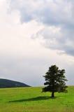 Altijdgroene boom en stormachtige hemel Royalty-vrije Stock Fotografie