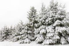 Altijdgroene pijnboombomen die met sneeuw in de winter worden behandeld Stock Foto