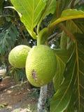 Altilis d'Artocarpus d'arbre de Breadfuit images libres de droits