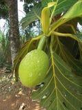 Altilis 2 d'Artocarpus d'arbre de Breadfuit photo stock