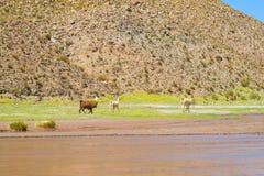 altiplano的喇嘛 库存图片