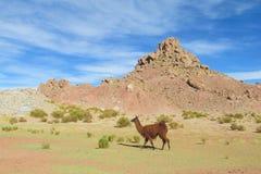 altiplano的喇嘛 库存照片