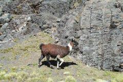 altiplano的喇嘛 图库摄影