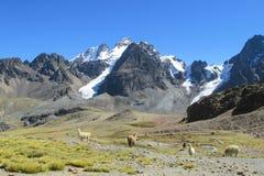 altiplano的喇嘛 免版税库存图片