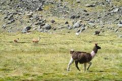 altiplano的喇嘛 免版税图库摄影