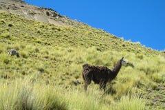 altiplano的喇嘛 免版税库存照片