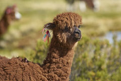 在北智利的Altiplano的羊魄 库存照片