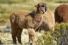 在北智利的Altiplano的婴孩羊魄 免版税库存图片