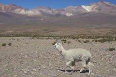 在北智利的Altiplano的羊魄 库存图片