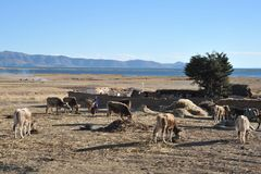 Altiplano. Bolivia. Altiplano is a vast plateau in the Andes mountains.On the Altiplano plateau of cultivated land  is one of subsistence agriculture Royalty Free Stock Photography