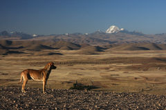 Altiplano landscape with a dog Royalty Free Stock Photos
