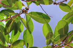 Altissima de Ficus sur le ciel bleu Photographie stock