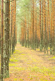 Altitude pine forest. In autumn stock image