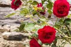 Altmodische rote Rosen, die auf einer alten Steinwand wachsen stockbilder
