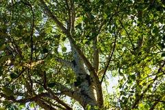 Alto árbol con la corteza blanca (álamo temblón, álamo, abedul) Visión inferior Imagen de archivo libre de regalías