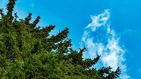Alto árbol de abeto en un fondo del cielo azul metrajes