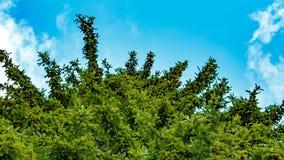 Alto árbol de abeto en un fondo del cielo azul almacen de metraje de vídeo