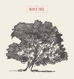 Alto árbol de arce del vintage del detalle, mano dibujada, vector libre illustration