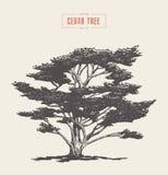 Alto árbol de cedro del vintage del detalle dibujado, vector ilustración del vector