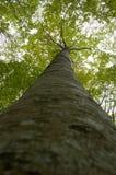 Alto árbol del bosque virginal Imágenes de archivo libres de regalías