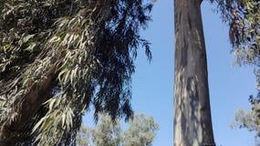Alto árbol del registro imagen de archivo libre de regalías