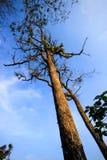 Alto árbol del tronco Foto de archivo