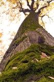 Alto árbol viejo con el musgo Foto de archivo